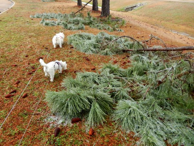 The ice last night pruned the pine trees!