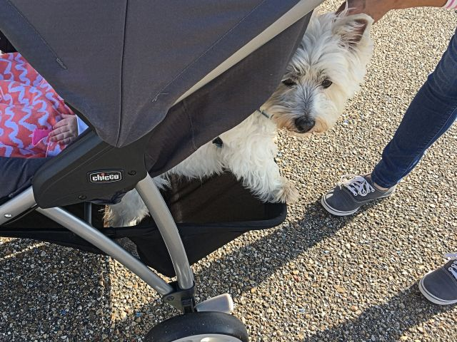 Buttons supervises the litter patrol from her seat under the stroller.